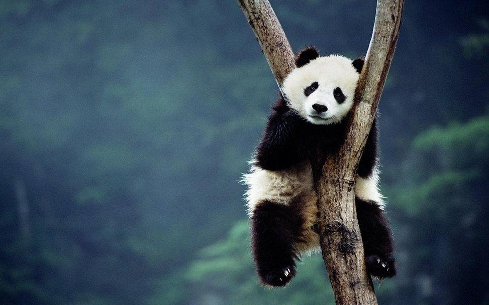 PandaBG.jpg