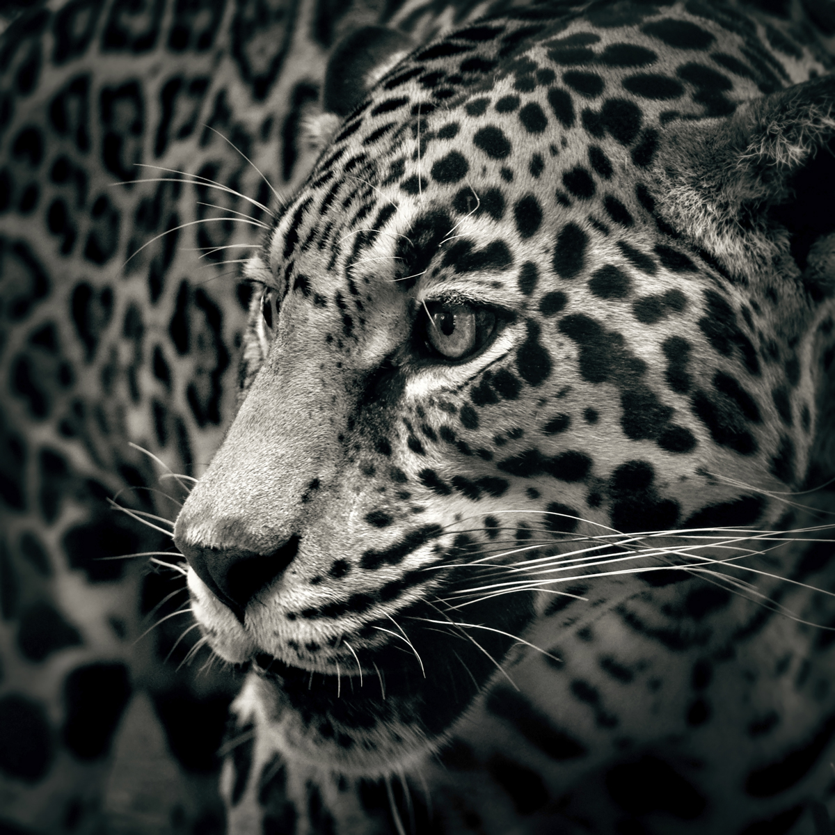 Black & White Jaguar