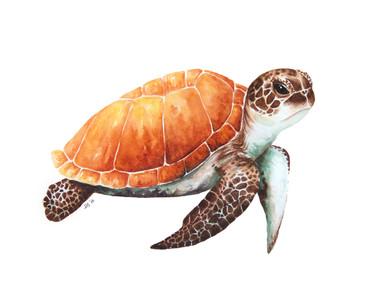 Sea Turtle on White