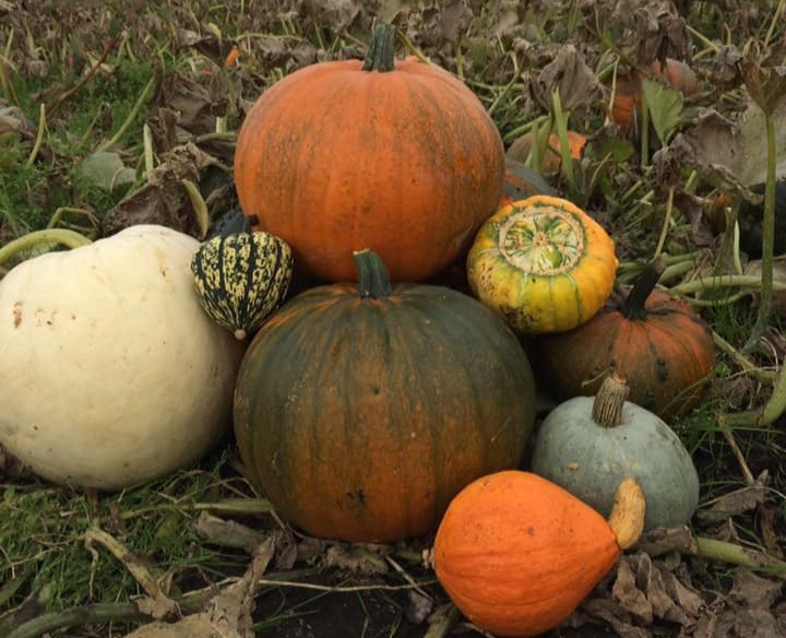 a oile of different pumpkins, varying in shape size and colour
