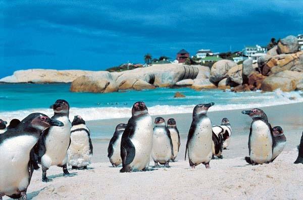 pinguini penisola del capo