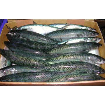 Saba (Mackarel) 10kg