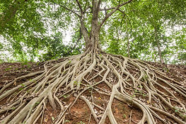 The roots of the banyan tree, which appe
