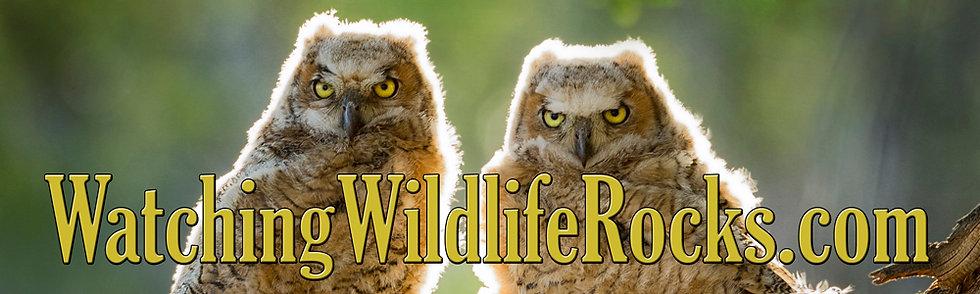 WatchingWildlifeRocks.com Owlets