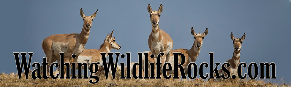 (Pronghorn Family-Click on image and add to cart)