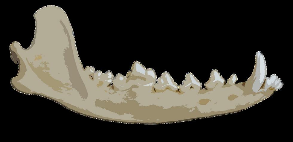 Coyote Dentary Bone