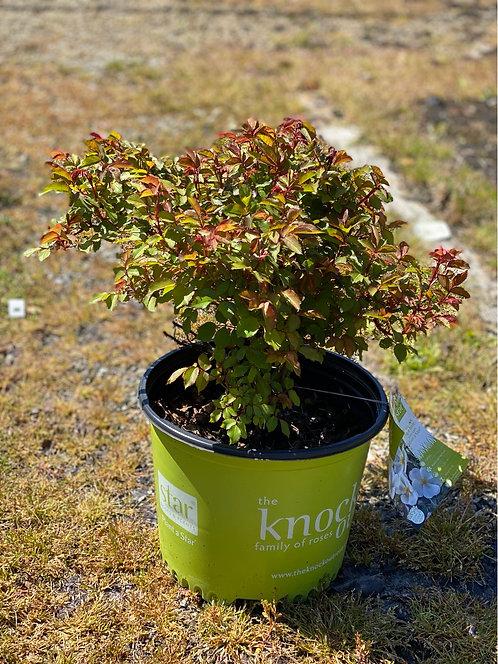 White Knock Out Rose (3 Gallon Pot)
