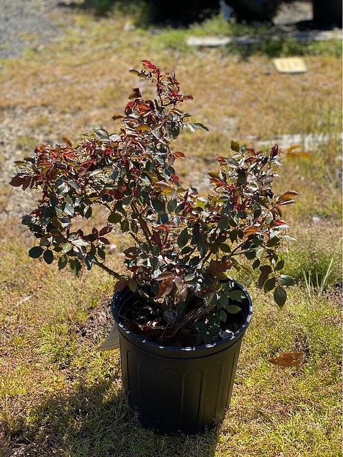 Tahitian Treasure Grandiflora Rose (3 Gallon Pot)
