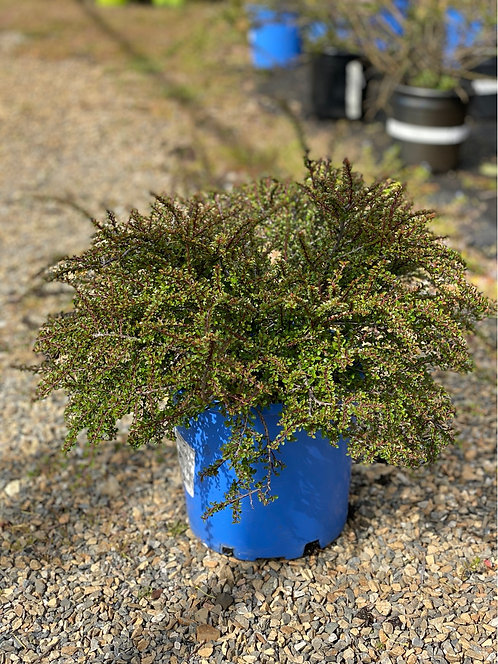 Tom Thumb Cotoneaster (2 Gallon Pot)