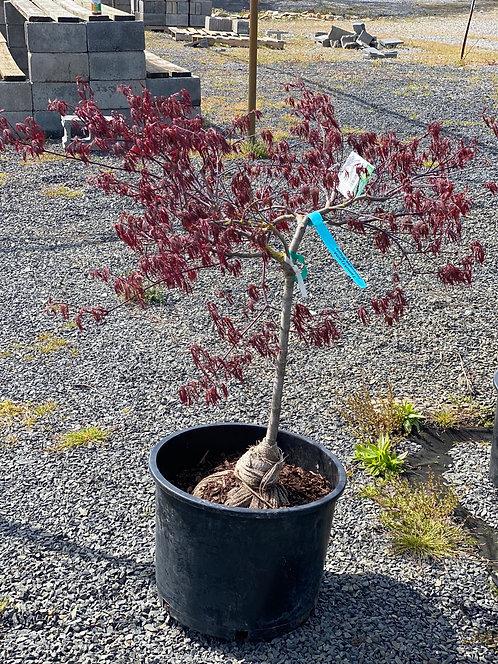 2-3 ft Tamukeyama Japanese Laceleaf Maple (7 Gallon Pot)