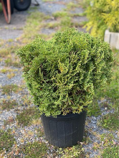Hetz Midget Arborvitae (3 Gallon Pot)