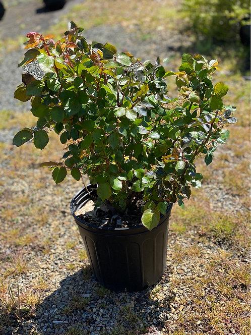 Eternal Flame Hybrid Tea Rose (3 Gallon Pot)