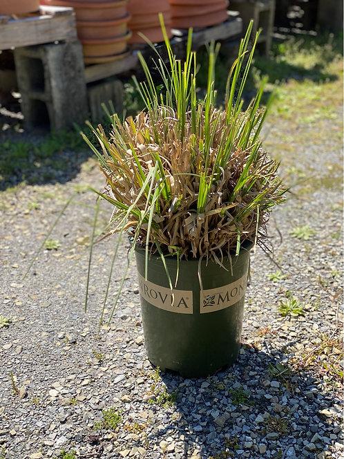 Ivory Feathers Dwarf Pampas Grass (5 Gallon Pot)