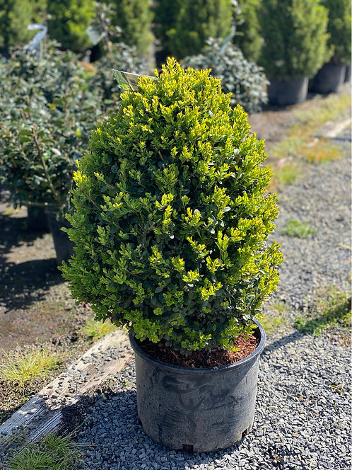 2 ft Green Mountain Boxwood (10 Gallon Pot)