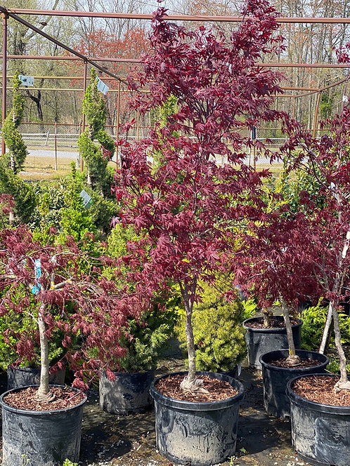 3-4 ft Bloodgood Japanese Maple (10 Gallon Pot)