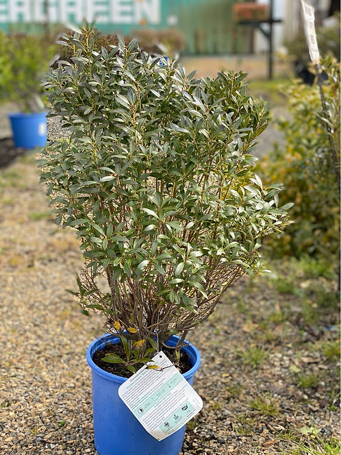 2 ft Shamrock Inkberry Holly (2 Gallon Pot)