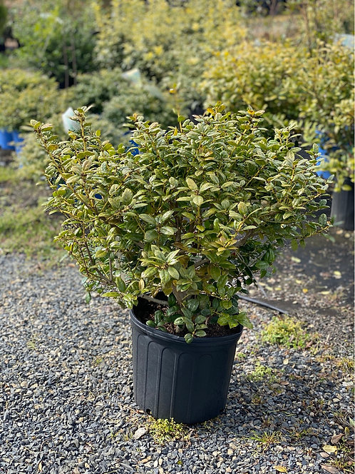 2 ft Dwarf Burford Chinese Holly (3 Gallon Pot)