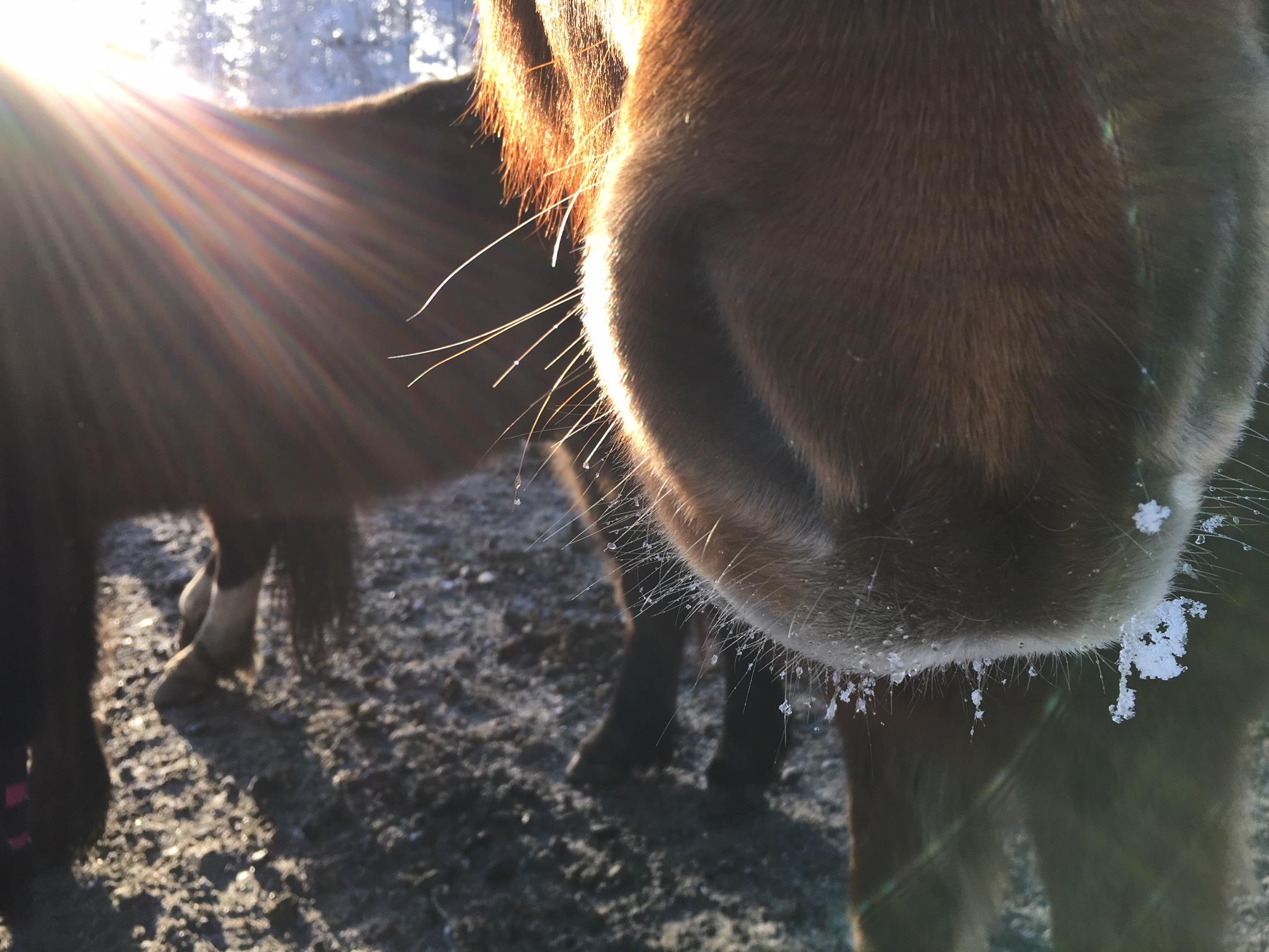Varm mule i vintersolen.