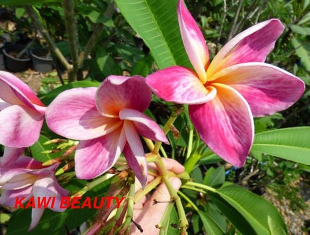 Kawai Beauty.JPG