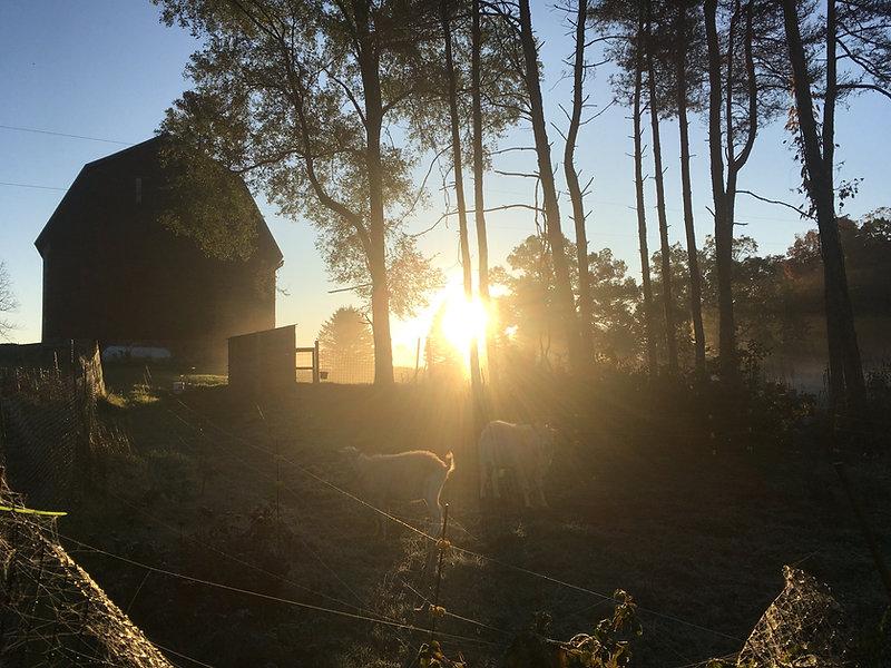 goats at dawn.JPG