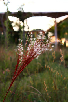 Aristida riparia, a plant from the Brazilian savanna in the Louise Ribeiro Garden, named after a student of the University of Brasília (Brazil) who was a feminicide victim in 2016.