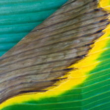 A scorched banana leaf, the colours of the Brazilian flag
