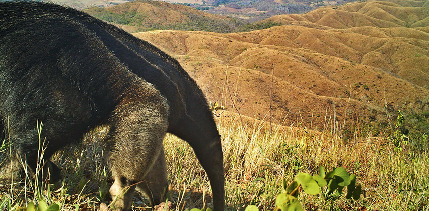 Author: Brasília é o Bicho  Location: APA do Planalto Central    The giant anteater (Myrmecophaga tridactyla).