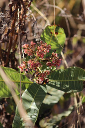 Anacardium humile, a plant from the Brazilian savanna in the Louise Ribeiro Garden, named after a student of the University of Brasília (Brazil) who was a feminicide victim in 2016.