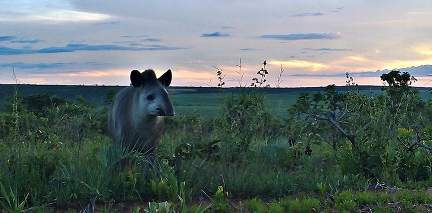 Author: Brasília é o Bicho  Location: Serra do Paranã (Paranã mountain range)   A tapir (Tapirus terrestris), the biggest mamal found in Brazil, showing up to say hello!
