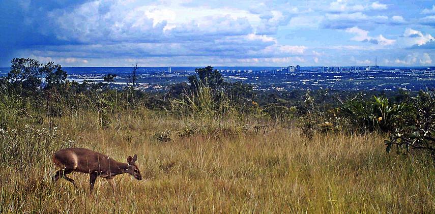 Author: Brasília é o Bicho  Location: Brasilia      A free-ranging grey brocket deer (Mazama gouazoubira) with the panoramic view of Brasilia in the background.