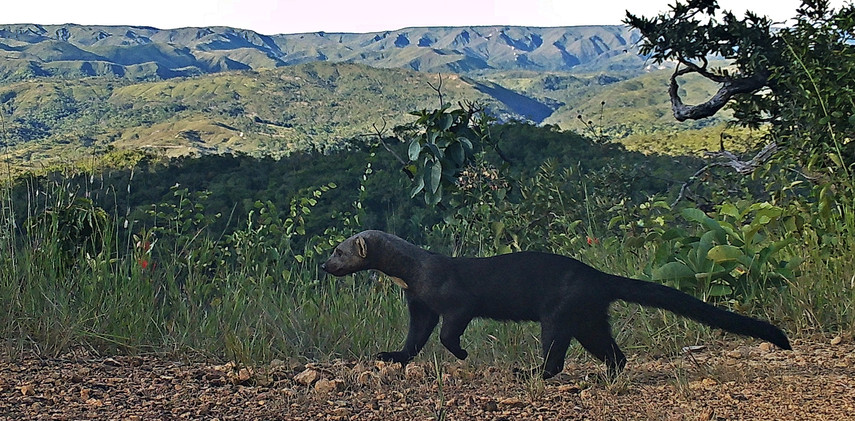 Author: Brasília é o Bicho  Location: APA do Planalto Central    The tayra (Eira barbara) is the only species of the Eira gender. Know for eating honey, this animal is found across all the brazilian biomes.