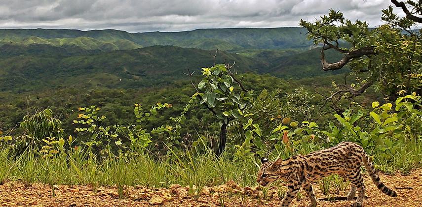 Author: Brasília é o Bicho  Location: APA do Planalto Central    The fearless gato-do-mato (Leopardus emilae).