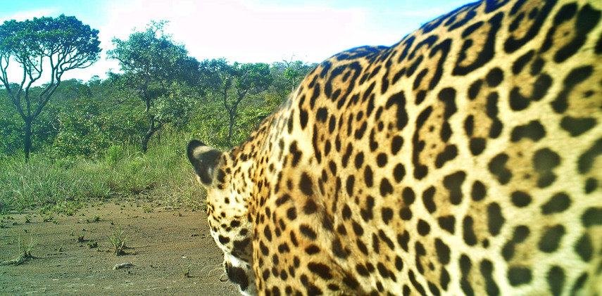 Author: Brasília é o Bicho  Location: Serra do Paranã (Paranã mountain range)   Each jaguar (Panthera onca) has its unique spots pattern. Kwnowing the pattern allows researchers to identify and protect the individuals.