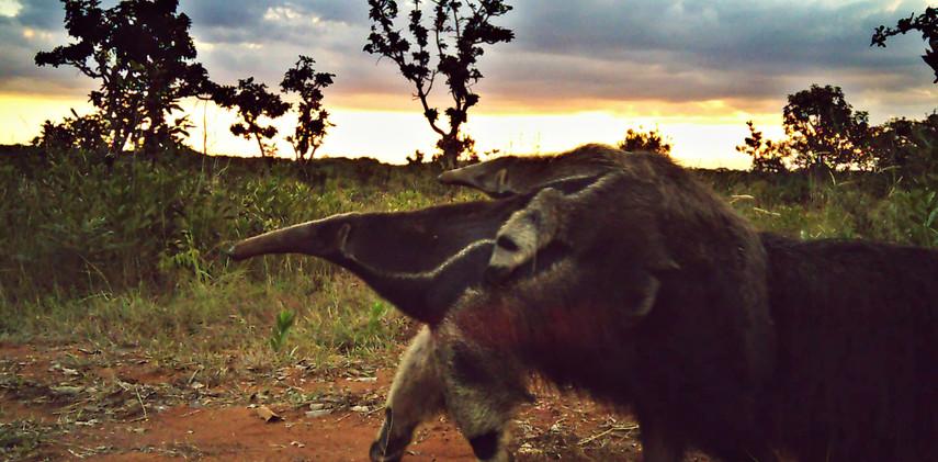 Author: Brasília é o Bicho  Location: Brasilia Nacional Park   The giant anteater taking its cub for a ride (Myrmecophaga tridactyla).