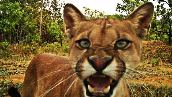 Onça-parda - Puma concolor