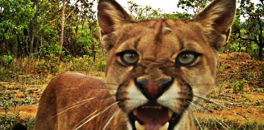 Author: Brasília é o Bicho  Location: Brasilia Nacional Park   The fearless puma (Puma concolor) found the camera.