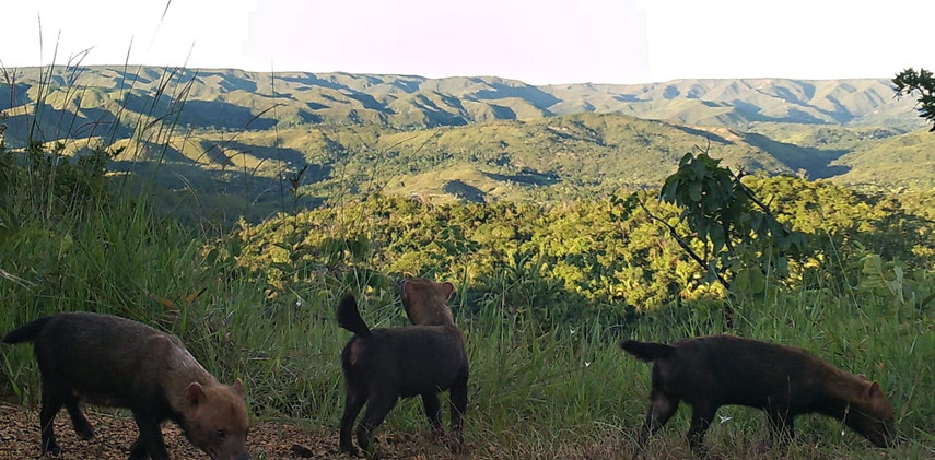 Author: Brasília é o Bicho  Location: APA do Planalto Central    A rare image of the bush dog Speothos venaticus walking in the Cerrado! Our team proudly produced this record putting the chachorro-vinagre back on the maps in April 2021.