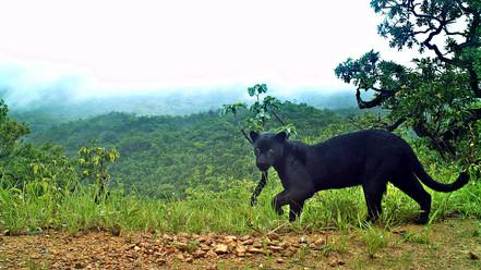 Onça preta - Panthera onca
