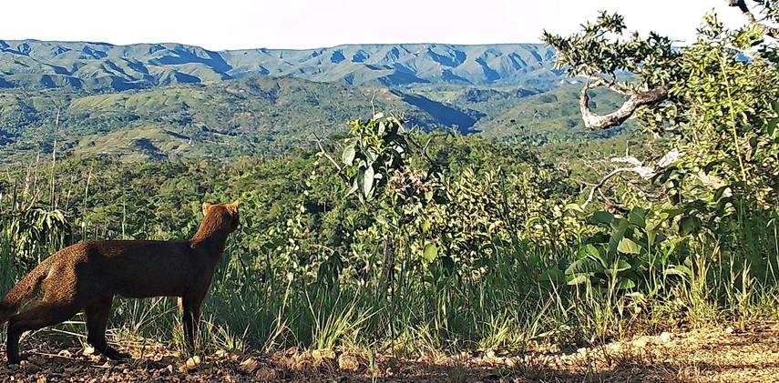 Author: Brasília é o Bicho  Location: APA do Planalto Central    A beautiful Jaguarundi (Herpailurus yagouaroundi) checking out the view.