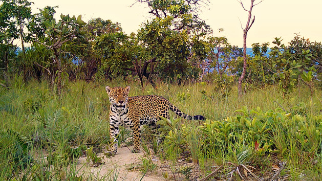 Onça pintada fêmea - Panthera onca