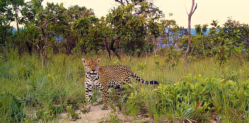 Author: Brasília é o Bicho  Location: Serra do Paranã (Paranã mountain range)   A female jaguar (Panthera onca) walking in the Cerrado.