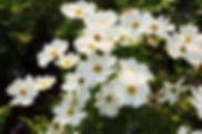 8606572-white-cosmos-flower.jpg