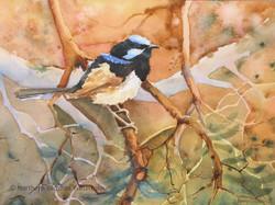 Blue Wren - Jenny Gilchrist