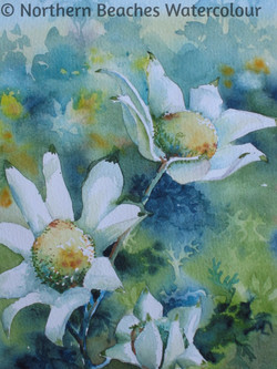 Flannel flowers - Jenny gilchrist