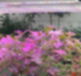 VNL PINK CANNABIS.jpg