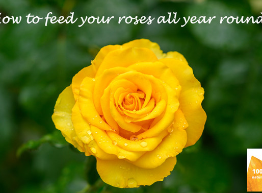 How to feed your roses all year round