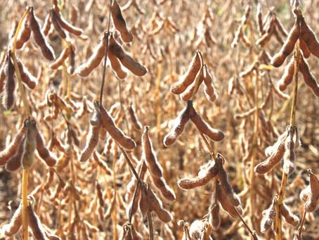 Paraná deverá colher recorde de 18,6 mi t de soja em 2016/17
