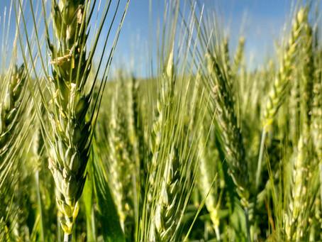 Plantio de trigo começa lento com clima seco na região sul