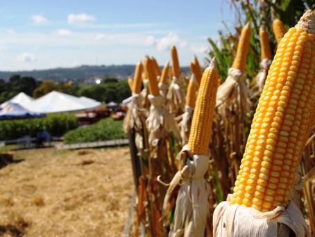 GRÃOS: Seca e geadas prejudicam produção de milho no Paraná