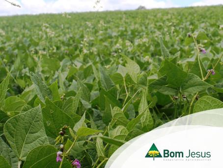 FEIJÃO - Uso de sementes certificadas para melhor desenvolvimento da cultura